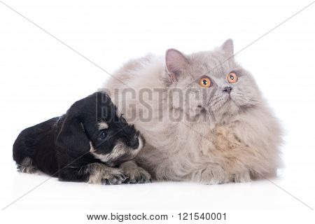 schnauzer puppy with a cat