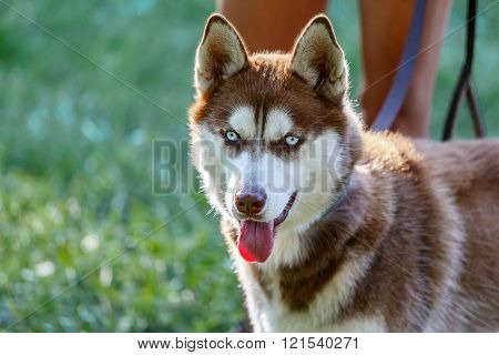 Siberian Husky with blue eye at the green grass