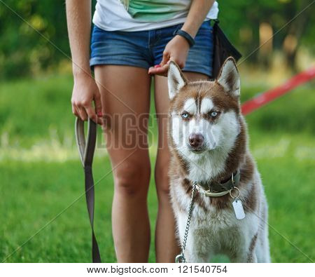 Dog motivational training. Trainer gives the husky a reward