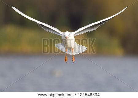 Seagull In Flight With Spread Wings