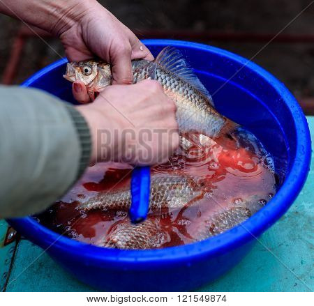Cleaning fish on the scales