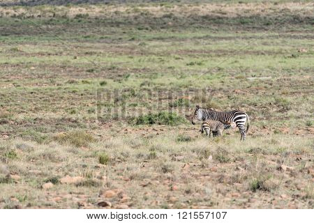 Mountain Zebra Mare With Foal Suckling