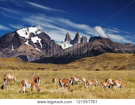 Herd of guanaco in Torres del Paine National Park, Patagonia, Chile