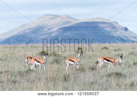 Springbok In The Mountain Zebra National Park