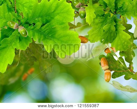 image of oak leaf with acorns on a green background