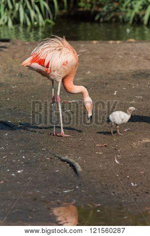 Flamingo With Baby