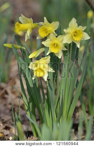 Wild Daffodil