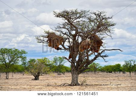 Acacia with big nest. Namibia