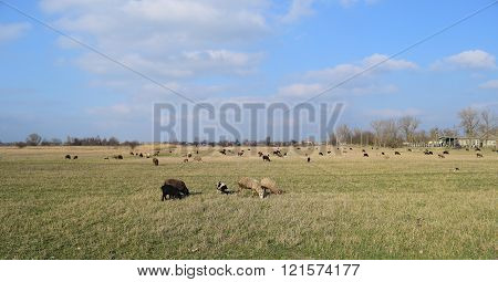 Sheep in the pasture. Grazing sheep herd in the spring field near the village. Sheep of different breeds.