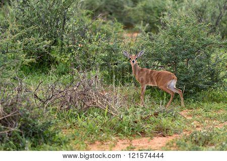 Small Antelope Dik-dik, Africa