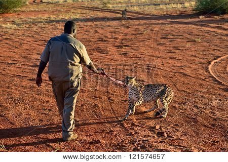 Wild Cheetah Feeding
