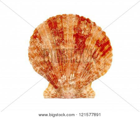 Clam Or Scallop Seashell Isolated On White Background