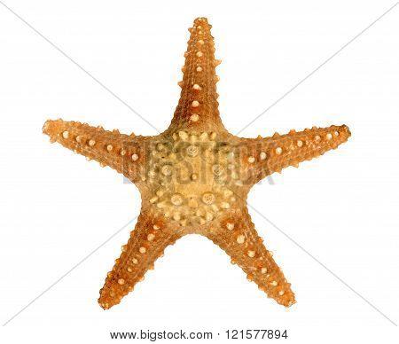 Spiny Starfish Isolated On White Background