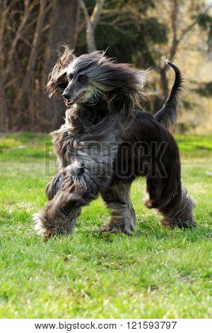 Dog Afghan Hound Runs