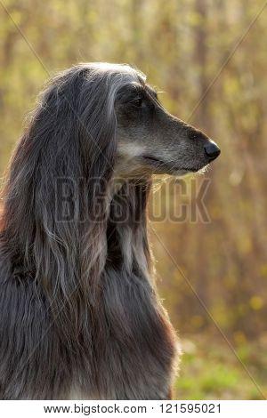 Dog Afghan Hound In Profile