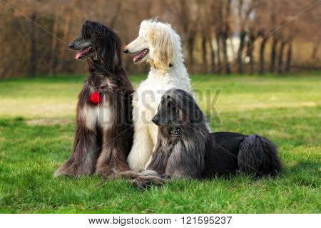 Three Dogs Breed Afghan Hound