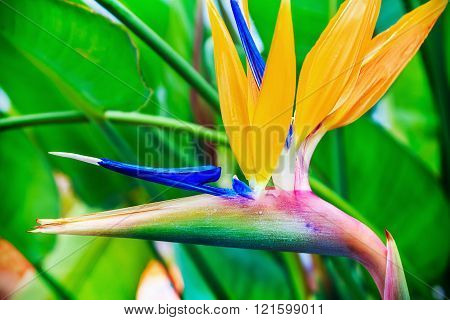 Strelitzia Reginae flower closeup (bird of paradise flower). shallow depth of field. Soft focus