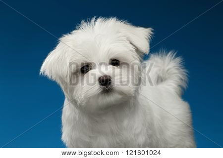 Cute White Maltese Puppy With Funny Tail Looking In Camera
