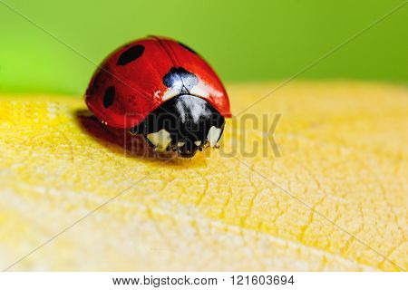 Ladybug, On  Yellow  Sheet