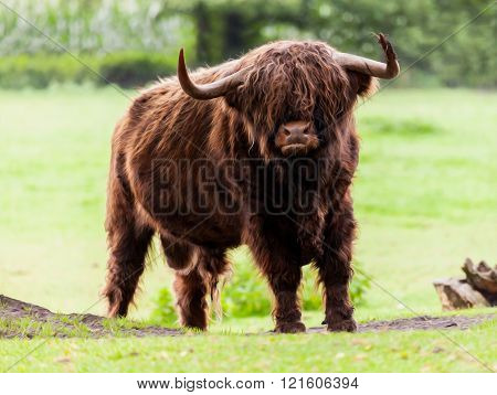 Highland cattle bull stands on grassland