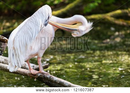 Pelican Dressing His Feathers On A Lake