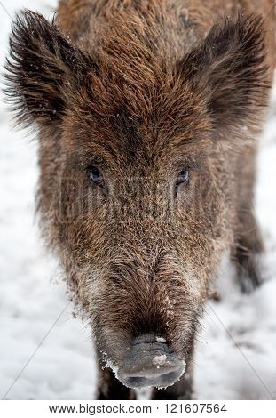 Wild Boar On Snow Looks To The Camera