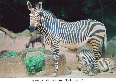 Young Zebra With Zebra Mother