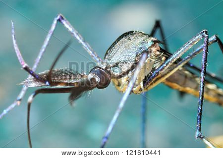 Close up of the head of giant Mosquito