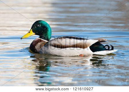Drake Mallard in water.