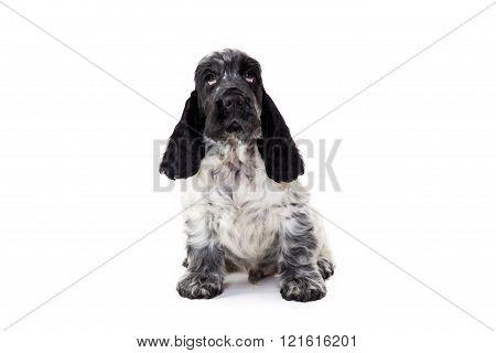 Puppy Of English Cocker Spaniel