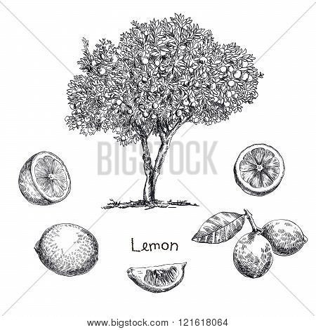 lemon tree sketch