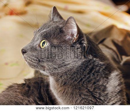 Surprised Gray Cat