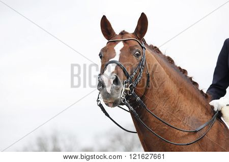 a brown horse head with a Double Bridle and reins