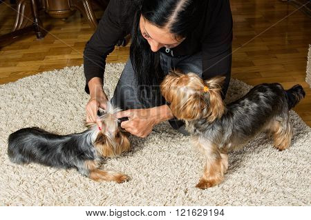 Pets. Yorkshire terriers. Woman is making a top knot on a dog's head, the other dog is near on the carpet
