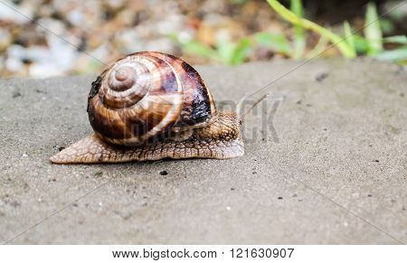Big Snail Crawling On A Stony Surface