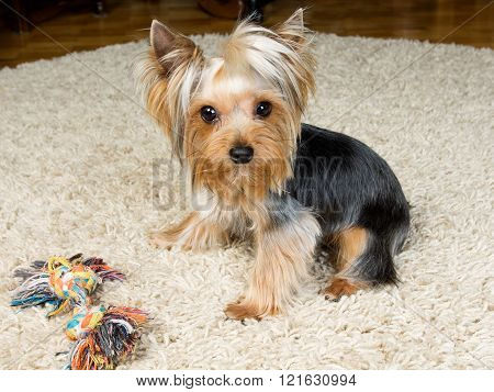 Yorkshire Terrier Is Playing With A Toy On The Carpet