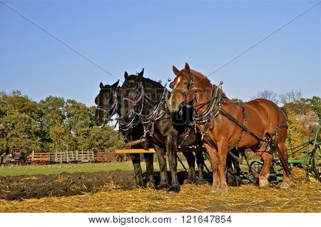 Team of horses pulling plow
