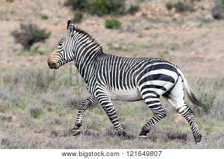 Running Mountain Zebra