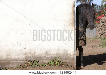 dark brown horse sticks head around dirty white washed wall of stable in sunshine