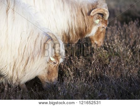 grazing horned sheep in winter time on the heath near Zeist and utrecht in the netherlands