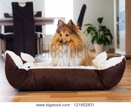 Young Shetland Sheepdog Sits In A Basket And Looks To The Right