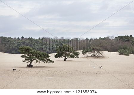 dogs play on sand of lange duinen in Soest