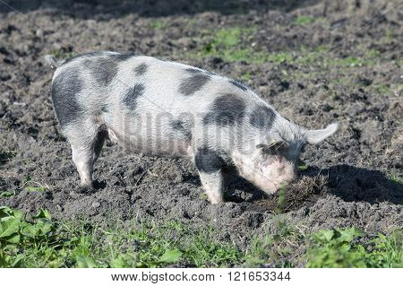 large spotted pig outdoors in dirt on sunny day