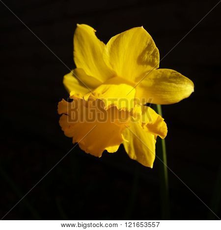 Sunlit Daffodil