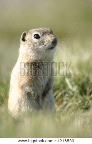 Prairie Dog Whats Up