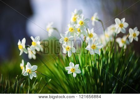 Blooming daffodils. Flowering white narcissus at springtime. Spring flowers. Shallow depth of field. Selective focus.