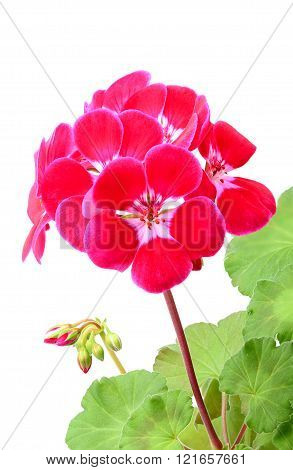 Geranium Flowers On A White Background.