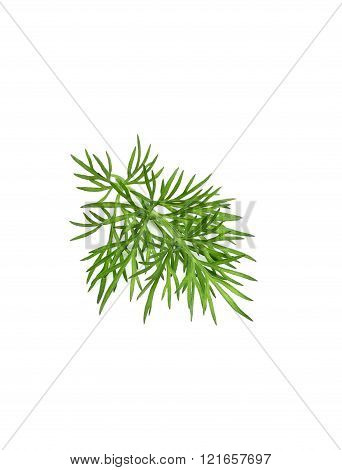 A Sprig Of Dill Close-up.