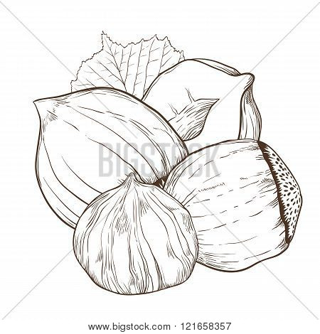 Hazelnut vector isolated on white background