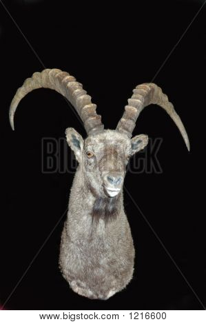 Ibex On Black